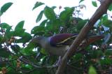 Thick-billed Green Pigeon (Treron curvirostra)