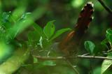 Raffles' Malkoha ( Phaenicophaeus chlorophaeus )