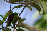 Purple-throated Sunbird ( Leptocoma sperata )