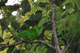 Blue-winged Leafbird ( Chloropsis cochinchinensis moluccensis )  - Female