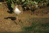 Masked Lapwing, Juvenile