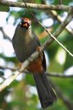 Chestnut Capped Laughingthrush (Garrulax mitratus)