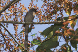 Long Tailed Sibia (Heterophasia picaoides)