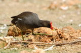 Common Moorhen ( Gallinula chloropus )