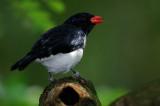 PASSERIFORMES : Thraupidae ( Tangara and Allies )