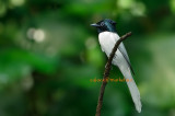 WM - Asian Paradise  Flycatcher ( Terpsiphone paradisi )