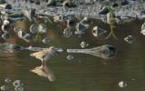 Curlew Sandpiper (Calidris ferruginea)