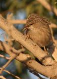 Common Babbler