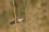 Olivaceous Warbler