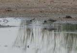 Common Redshank