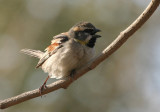 Dead Sea Sparrow