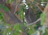 European Scops Owl