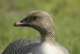 Pink-footed goose (anser brachyrhynchus).