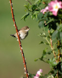 Common Whitethroat (Törnsångare)