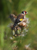European Goldfinch (Steglits)