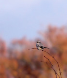 Great Grey Shrike (Varfågel)