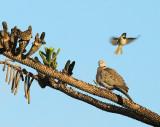 Eurasian Collared Dove and House Sparrow
