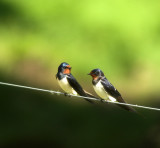 Barn Swallow (Ladusvala)