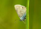Ängsblåvinge (Polyommatus semiargus), Uppland