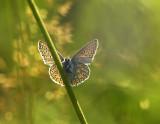 Puktörneblåvinge (Polyommatus icarus), Uppland