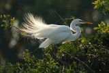 Great Egret: Angel Wings