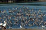 Synchronized Shorebirds