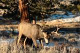 Mule Deere RMNP