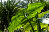 Leafus Giganticus