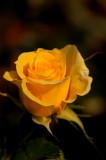A Rose, A Rose