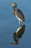 Reddish Egret & TriColored Heron