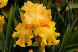 Yellow Lace