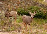 Mule Deer Mom & Daughter