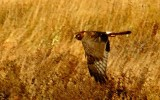 Norther Harrier Female