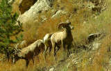 Big Horns on the Mountainside