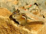 Golden Mantle Ground Squirrel