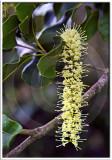 Macadamia Blossoms