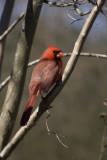 Cardinal male 2