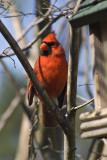 Cardinal, male 1