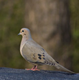 sony 300 mm and 2x's extender- Dove