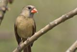 Female Cardinal tree