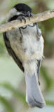 Carolina Chickadee hanging on