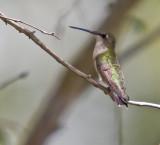 Rubythroat female