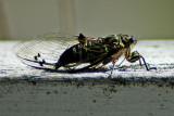 Cicada of March 07