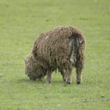 a brown daggy sheep