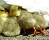 Wild Goslings: I Was There First!