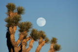 Joshua Tree and Rising Moon II