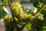 Wine Country: Grapes in Santa Ynez Valley (Horizontal)