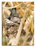 Mama hummer on nest