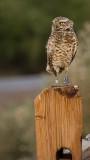 Johnny owl