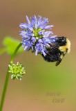 BUMBLE BEE-6804.jpg